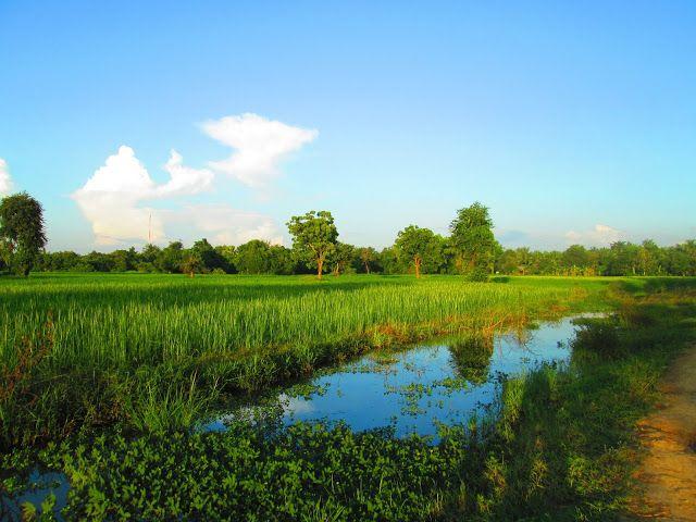Campos de arroz en los alrededores de Battambang