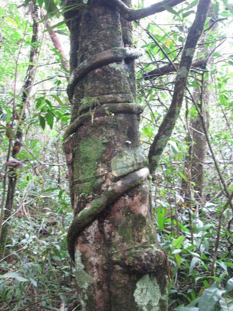 árbol curioso