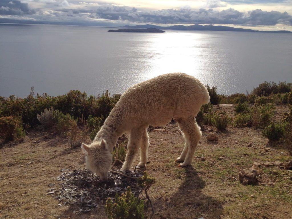 Isla del sol amaneciendo con su fauna habitual