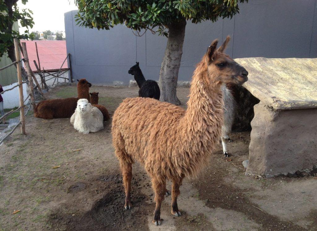 Diferentes alpacas en mundo alpaca