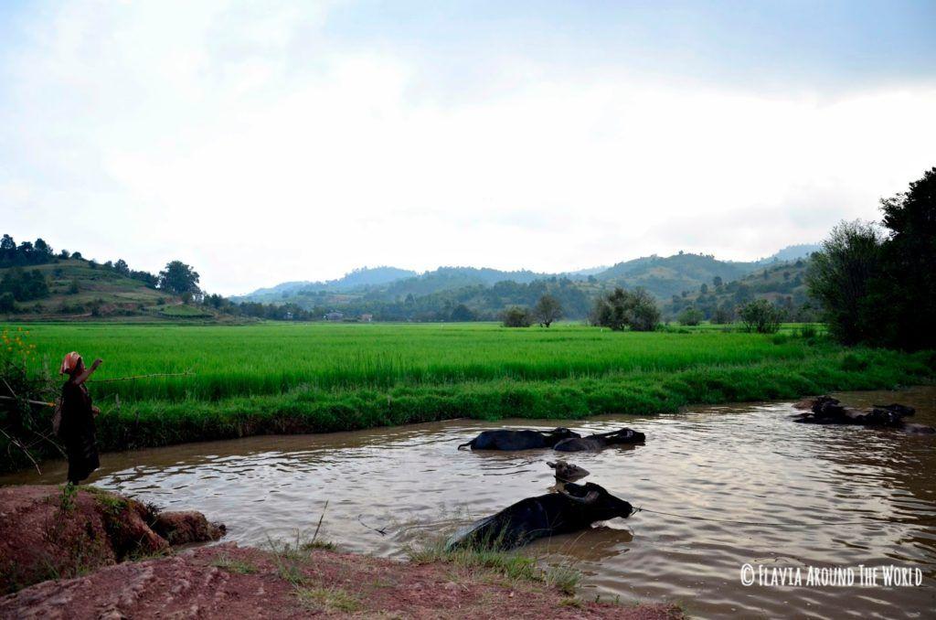 Mujer birmana con búfalos de agua