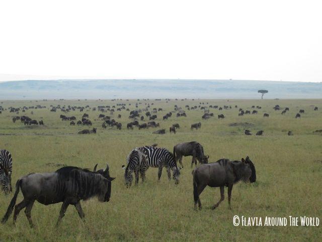 Cebras y ñúes en Masai Mara