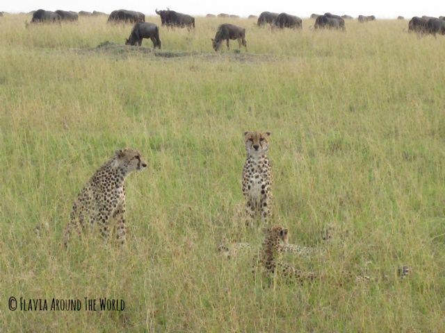 Guepardos en Masai Mara