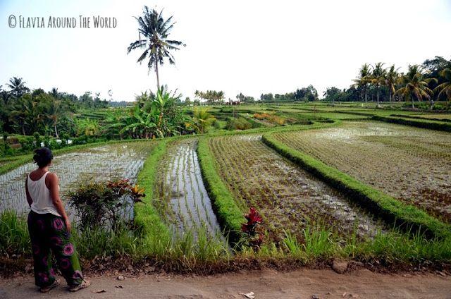 campos arroz bali